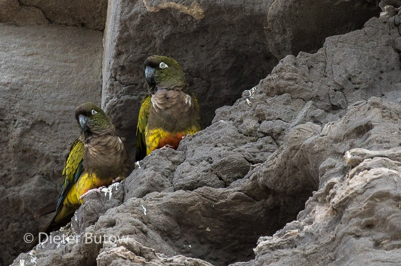 Argentina 16 Burrowing Parrots Raspberries Beaches-10