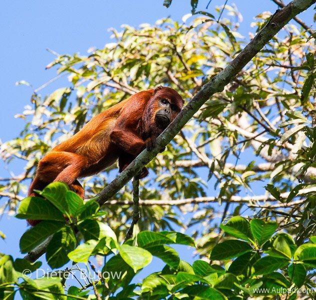 Bolivia Madidi Jungle Tour-18