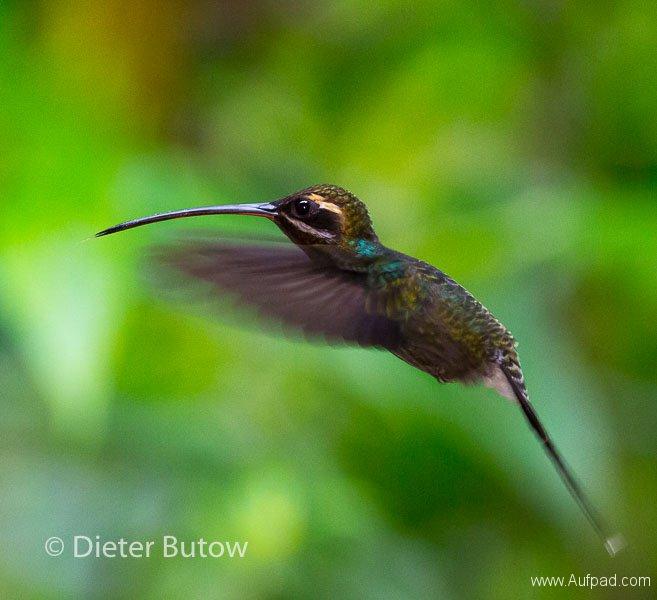 Birds of Mindo-29