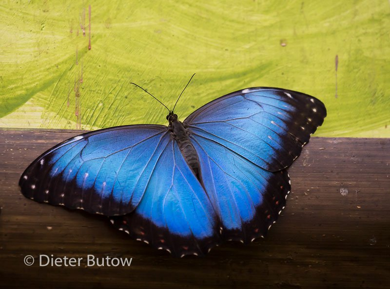 Butterflies of Mindo-10