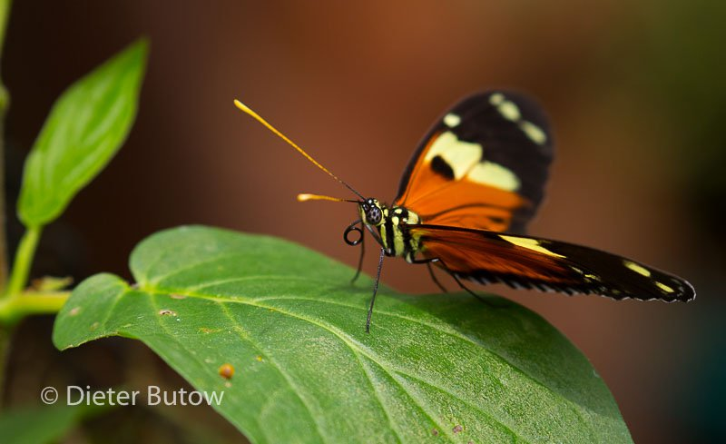 Butterflies of Mindo-16