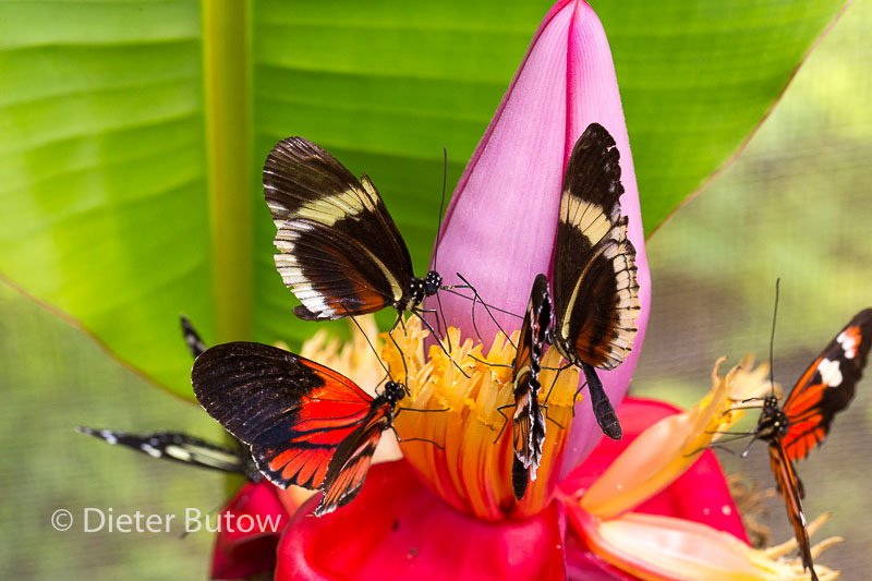 Butterflies of Mindo-23