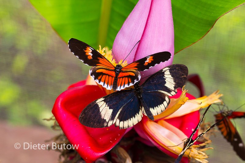 Butterflies of Mindo-26