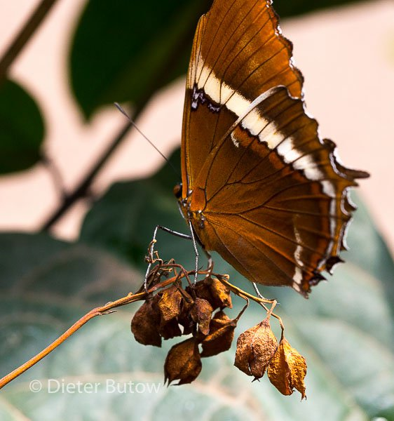 Butterflies of Mindo-30
