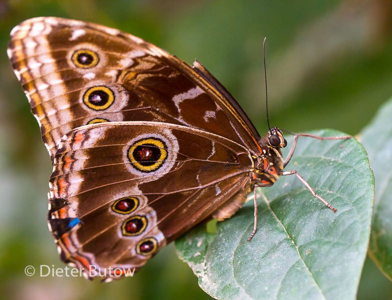 Butterflies of Mindo-33