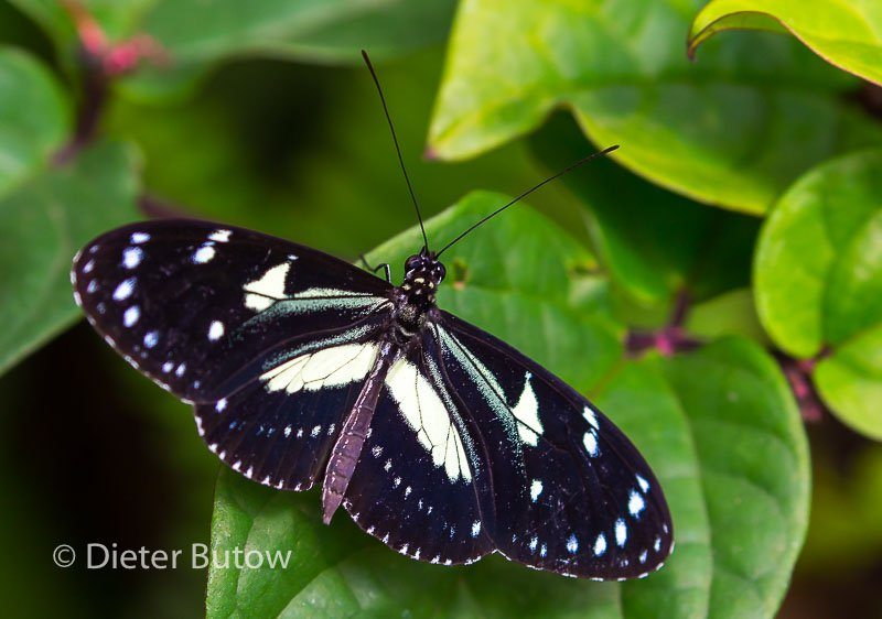 Butterflies of Mindo-7