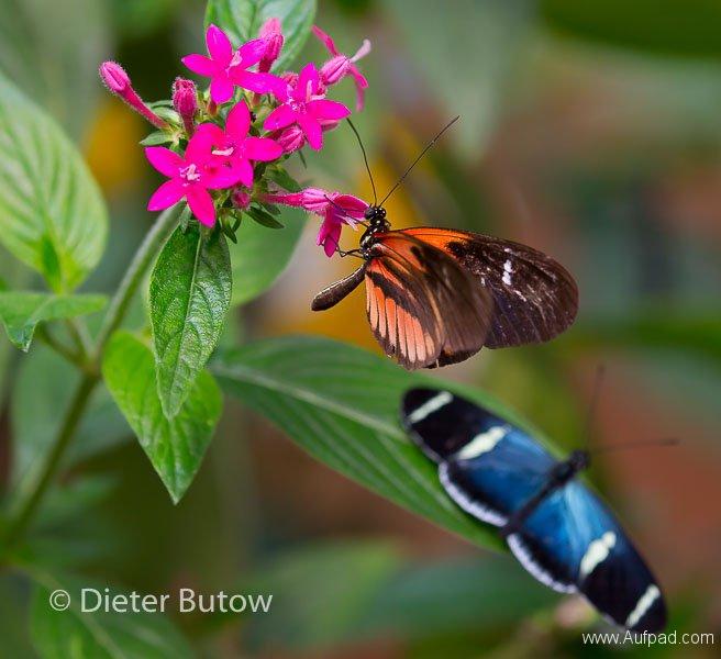 Butterflies of Mindo-1