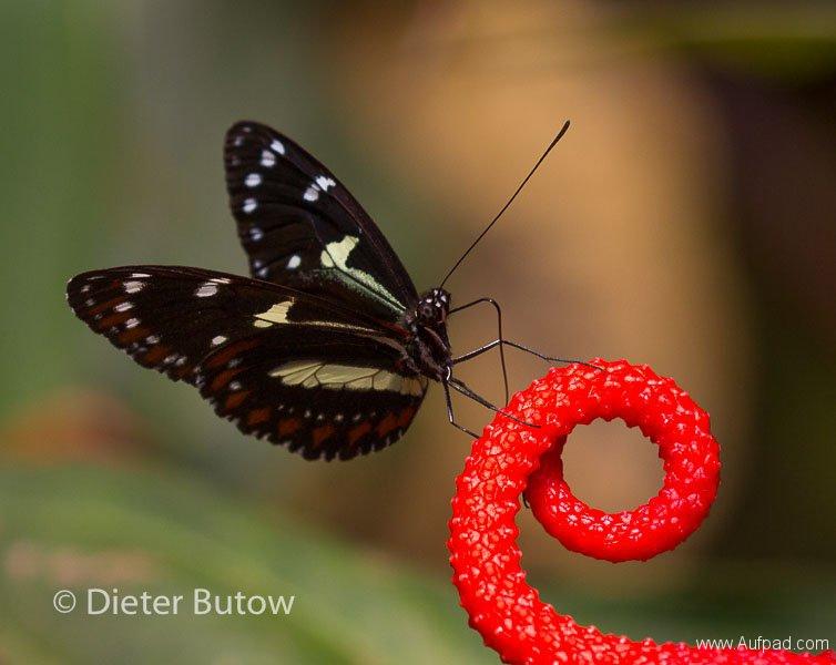 Butterflies of Mindo-15