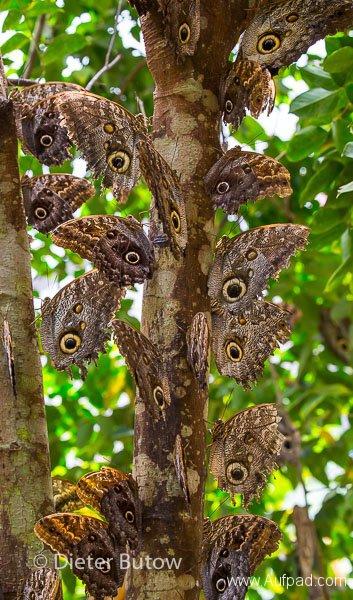 Butterflies of Mindo-18