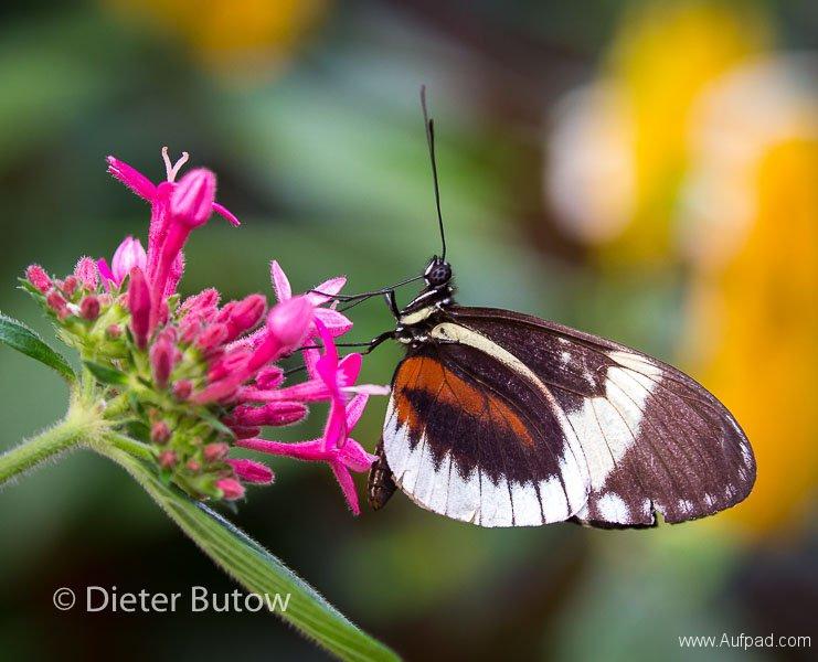 Butterflies of Mindo-3