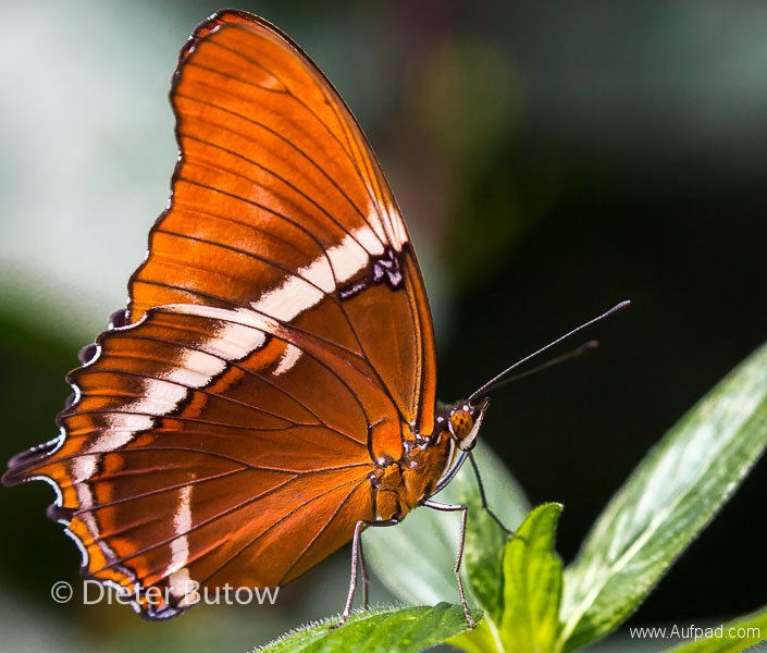 Butterflies of Mindo-9