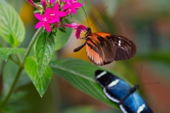 Butterflies of Mindo-1