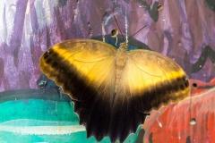 Butterflies of Mindo-34