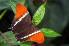 Butterflies of Mindo-8