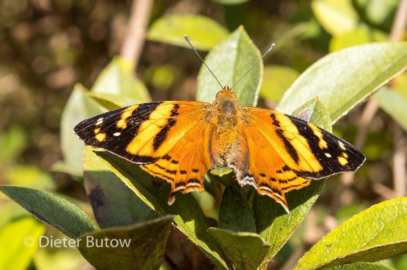 Butterflies around Foz de Iguaçu-1