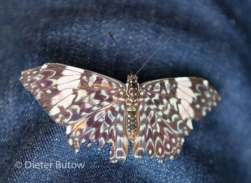 Butterflies around Foz de Iguaçu-10