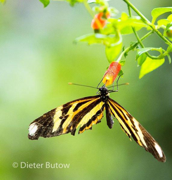 Butterflies around Foz de Iguaçu-12