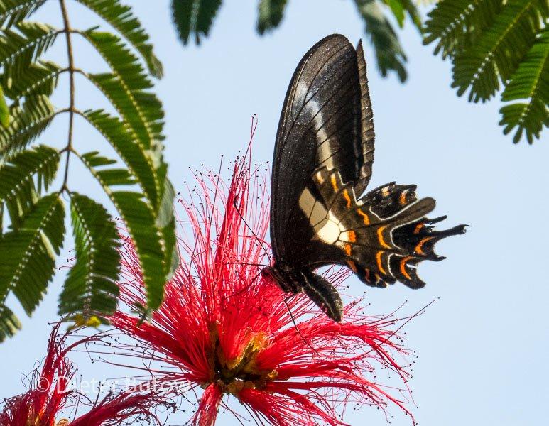 Butterflies around Foz de Iguaçu-2