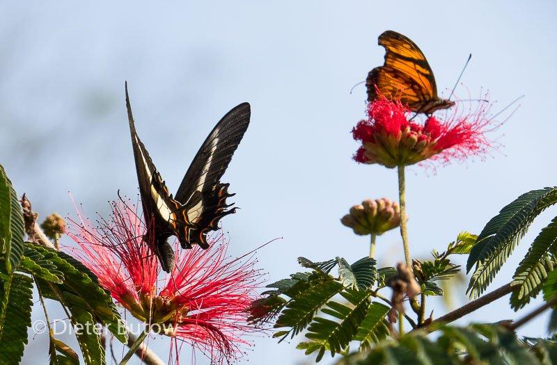Butterflies around Foz de Iguaçu-3