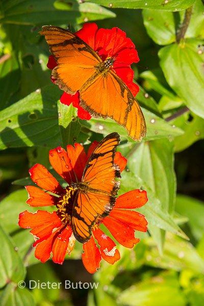 Butterflies around Foz de Iguaçu-4