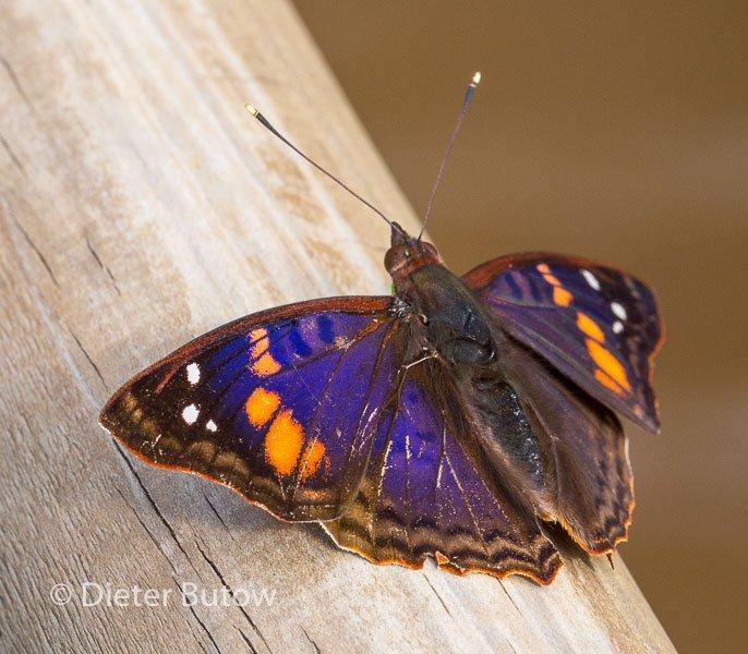 Butterflies around Foz de Iguaçu-5