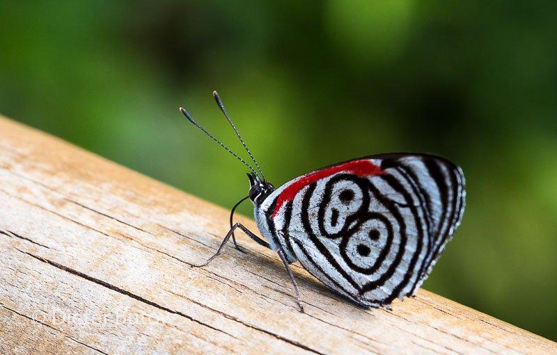 Butterflies around Foz de Iguaçu-6