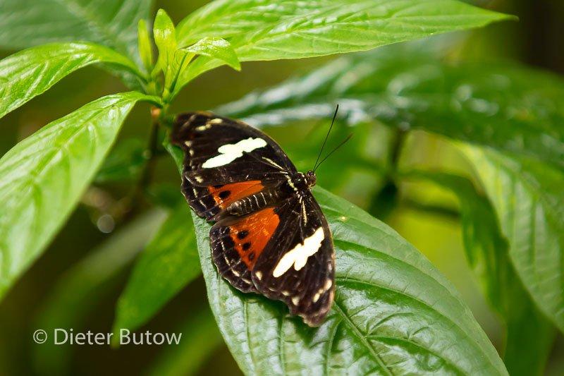 Butterflies around Foz de Iguaçu-9