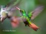 Ecuador: Birds of Mindo