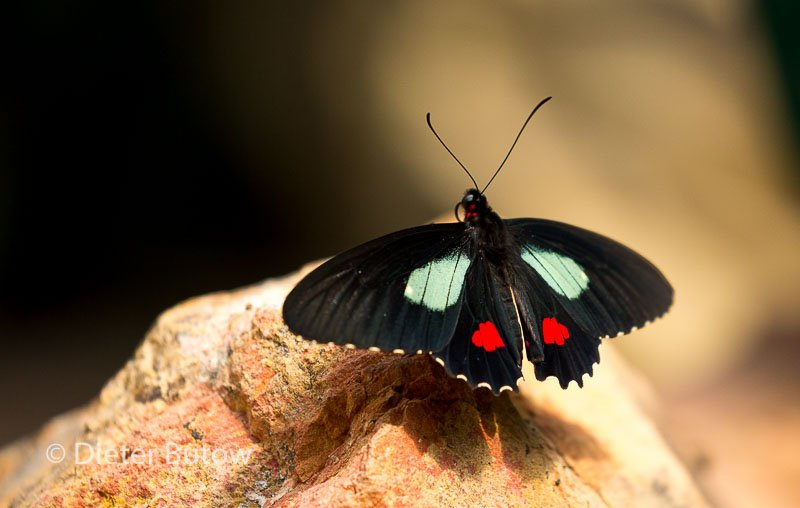 Butterflies of Mindo-11