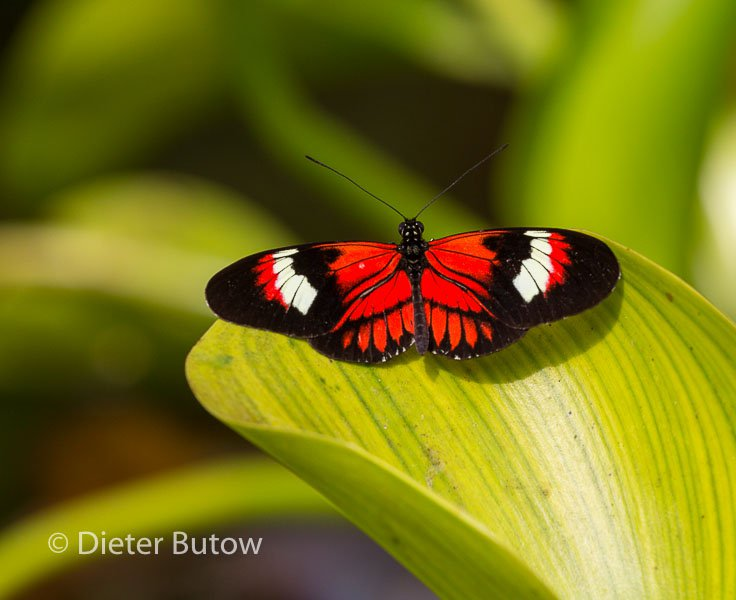 Butterflies of Mindo-13