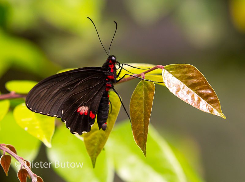 Butterflies of Mindo-17