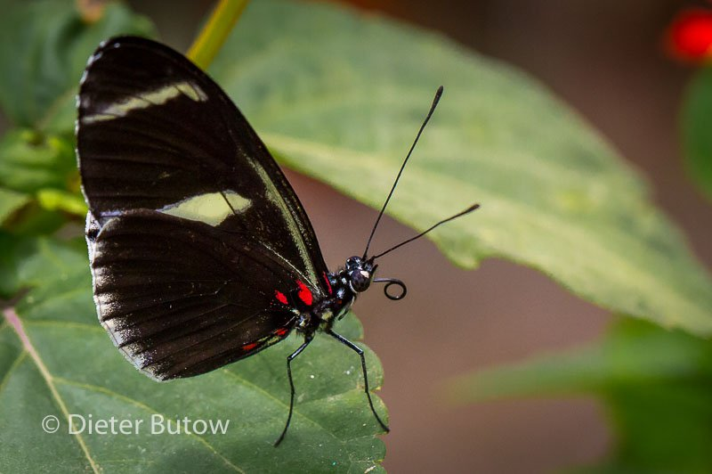 Butterflies of Mindo-24