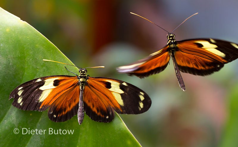 Butterflies of Mindo-25