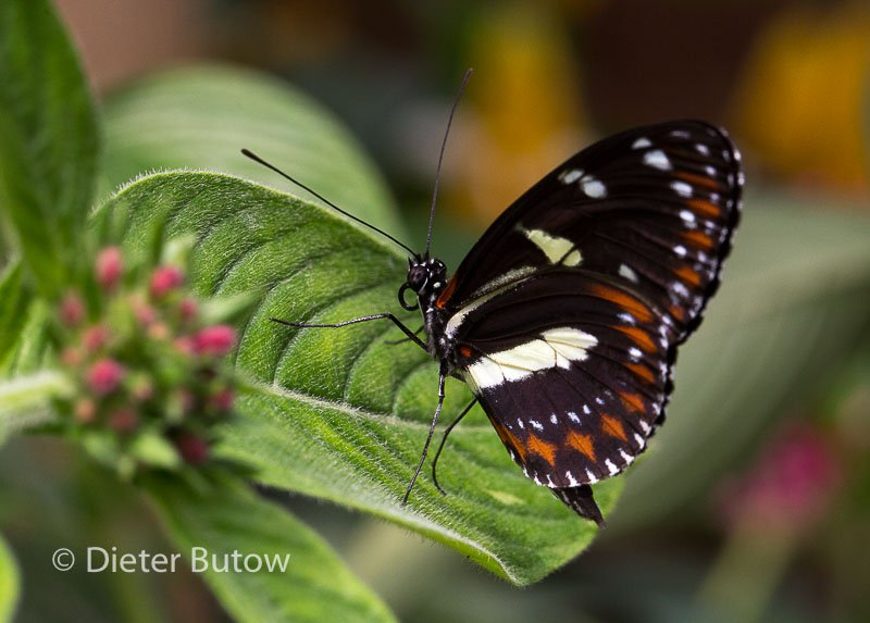 Butterflies of Mindo-27