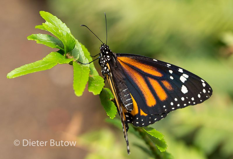 Butterflies of Mindo-31