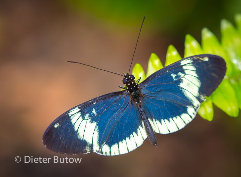 Butterflies of Mindo-4