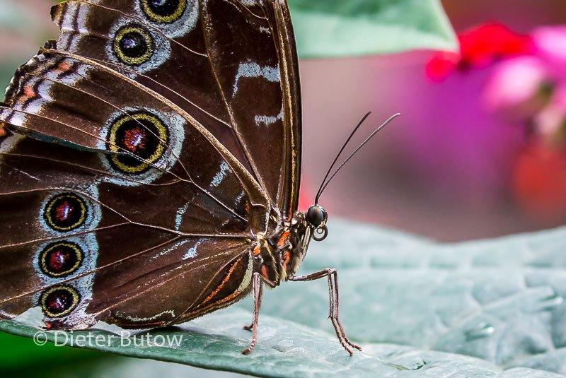 Butterflies of Mindo-6