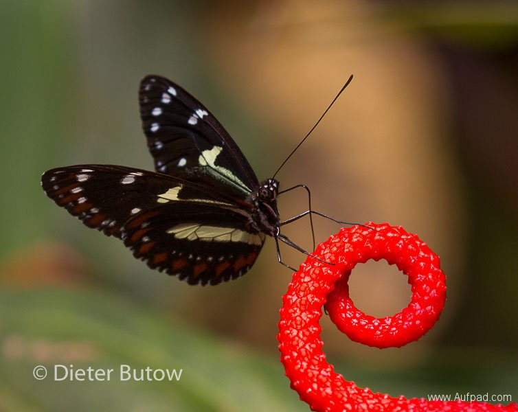 Butterflies of Mindo-15