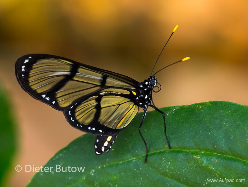 Butterflies of Mindo-20