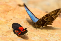 Butterflies of Mindo-12
