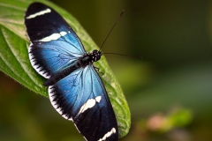 Butterflies of Mindo-2