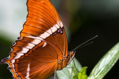 Butterflies of Mindo-9
